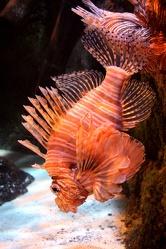 Bild mit Tiere,Natur,Landschaften,Fische,Unterwasser,Aquarien,Skorpionfische,Feuerfische,Tier,Krebse und Weichtiere,Fisch