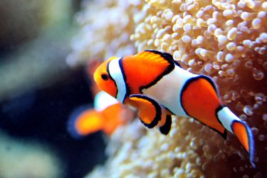 Bild mit Tiere,Natur,Landschaften,Nesseltiere,Korallen,Fische,Fische,Barsche,Unterwasser,Riffs,Anemonenfische,Clownfische,Krebse und Weichtiere