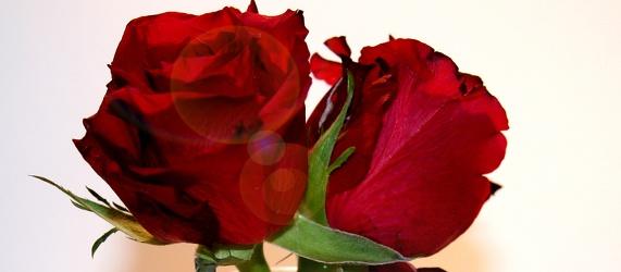 Bild mit Natur,Pflanzen,Blumen,Blumen,Rosen,Blume,Pflanze,Rose,Roses,rote Rose,Rosenblüte,Flower,Flowers,osaceae,zwei rote Rosen