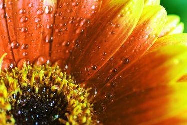 Bild mit Farben,Orange,Gelb,Natur,Elemente,Wasser,Pflanzen,Blumen,Korbblütler,Gerberas,Sonnenblumen
