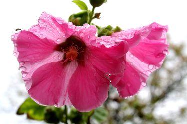 Bild mit Farben,Natur,Pflanzen,Blumen,Rosa,Magenta