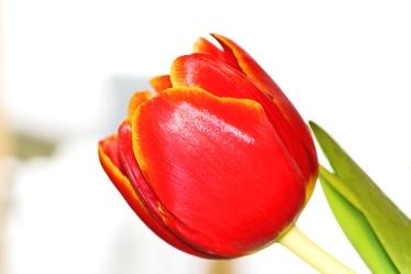 Bild mit Farben,Orange,Natur,Pflanzen,Blumen,Rot,Tulpe,Tulips,Tulpen,Tulipa,Flower,Flowers,Tulip,Blume, Blumen, Pflanze,red,rote Tulpe,rote Tulpen,red tulip,red tulips