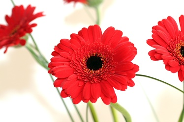 Bild mit Natur, Pflanzen, Blumen, Korbblütler, Rot, Blume, Pflanze, Flower, Flowers, Gerbera, Schnittblume, rote Gerbera, rote Gerberas