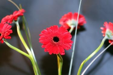 Bild mit Natur, Pflanzen, Blumen, Korbblütler, Gerberas, Blume, Pflanze, Flower, Flowers, Gerbera, Schnittblume, rote Gerbera, rote Gerberas