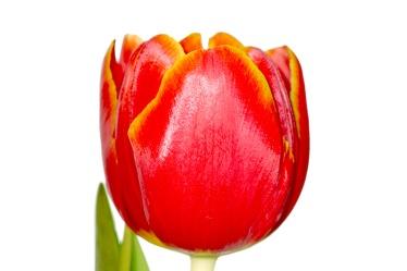Bild mit Farben,Natur,Elemente,Wasser,Pflanzen,Blumen,Rot,Tulpe,Tulips,Tulpen,Tulipa,Flower,Flowers,Tulip,Blume, Blumen, Pflanze,red,rote Tulpe,rote Tulpen,red tulip,red tulips