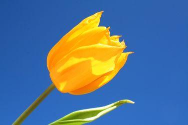 Bild mit Farben,Gelb,Gelb,Natur,Pflanzen,Himmel,Blumen,Tulpe,Tulips,Tulpen,gelbe Tulpe,Tulipa,Flower,Flowers,Tulip,Blume, Blumen, Pflanze,gelbe Tulpen,yellow tulip,yellow tulips,yellow