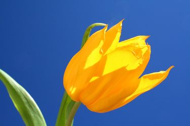 Bild mit Natur,Pflanzen,Blumen,Blumen,Blume,Pflanze,Tulpe,Tulips,Tulpen,gelbe Tulpe,Tulipa,Flower,Flowers,Tulip,gelbe Tulpen,yellow tulip,yellow tulips,yellow