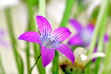Bild mit Farben, Natur, Pflanzen, Gräser, Jahreszeiten, Blumen, Lila, Violett, Frühling, Glockenblumen, männertreu