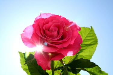 Sunshine Rose