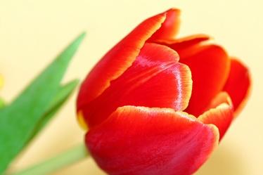 tulip no