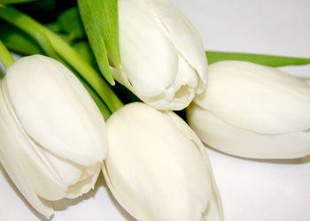 Bild mit Farben,Gegenstände,Natur,Pflanzen,Lebensmittel,Essen,Blumen,Weiß,Weiß,Tulpe,Tulips,Tulpen,weiße Tulpen,Tulipa,Flower,Flowers,Tulip,Blume, Blumen, Pflanze,weiße Tulpe,white tulip,white tulips