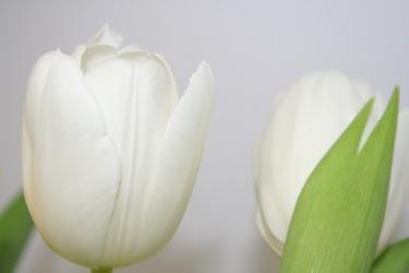 Bild mit Farben,Natur,Pflanzen,Blumen,Weiß,Weiß,Tulpe,Tulips,Tulpen,weiße Tulpen,Tulipa,Flower,Flowers,Tulip,Blume, Blumen, Pflanze,weiße Tulpe,white tulip,white tulips