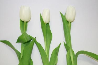 Bild mit Farben,Gegenstände,Natur,Pflanzen,Jahreszeiten,Blumen,Blumen,Weiß,Weiß,Frühling,Blume,Pflanze,Tulpe,Tulips,Tulpen,weiße Tulpen,Tulipa,Flower,Flowers,Tulip,weiße Tulpe,white tulip,white tulips