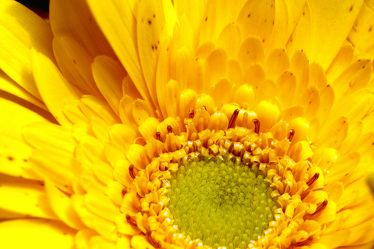 Bild mit Farben,Gelb,Natur,Pflanzen,Blumen,Korbblütler,Gerberas,Sonnenblumen