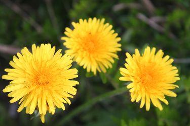 yellow sunshie