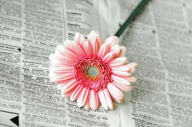 Bild mit Farben,Gegenstände,Natur,Pflanzen,Blumen,Rosa,Korbblütler,Blume,Gerbera
